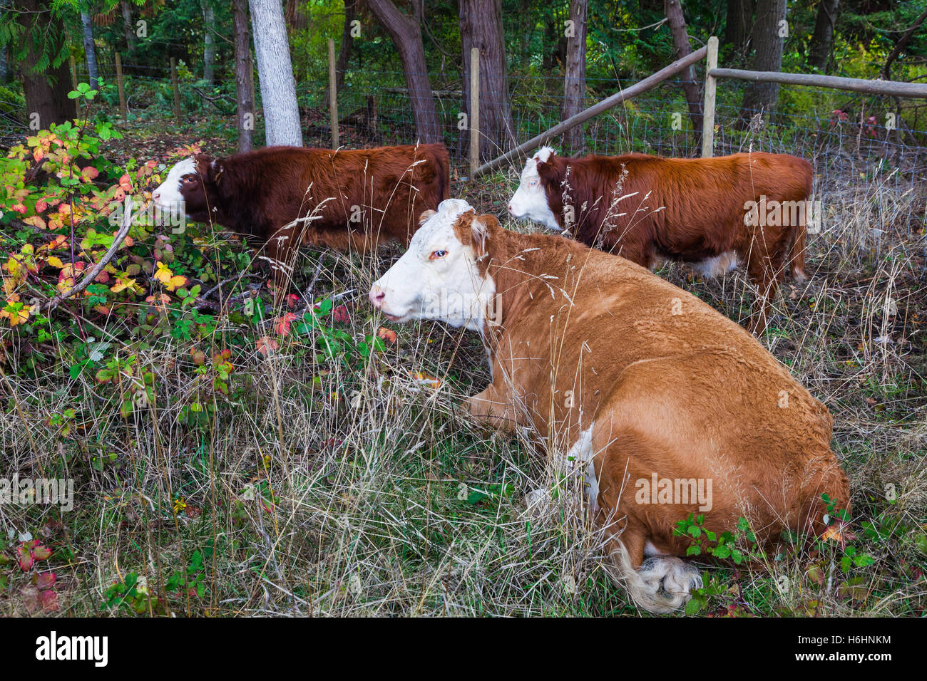 Mother and her calves sheltering in the corner of a pasture - Stock Image