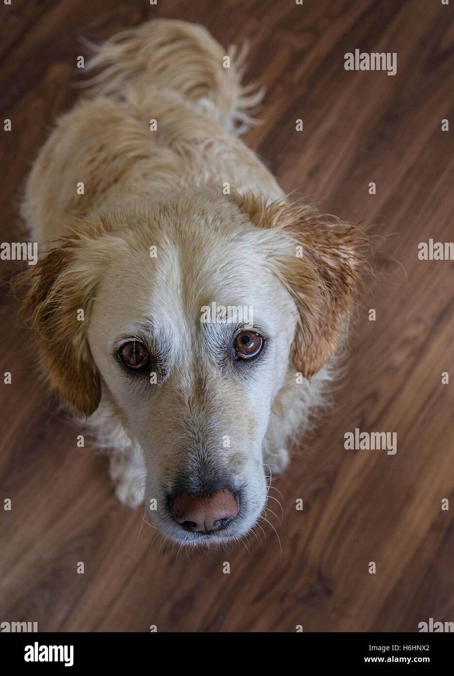 dog looking up longingly with loving eyes - Stock Image