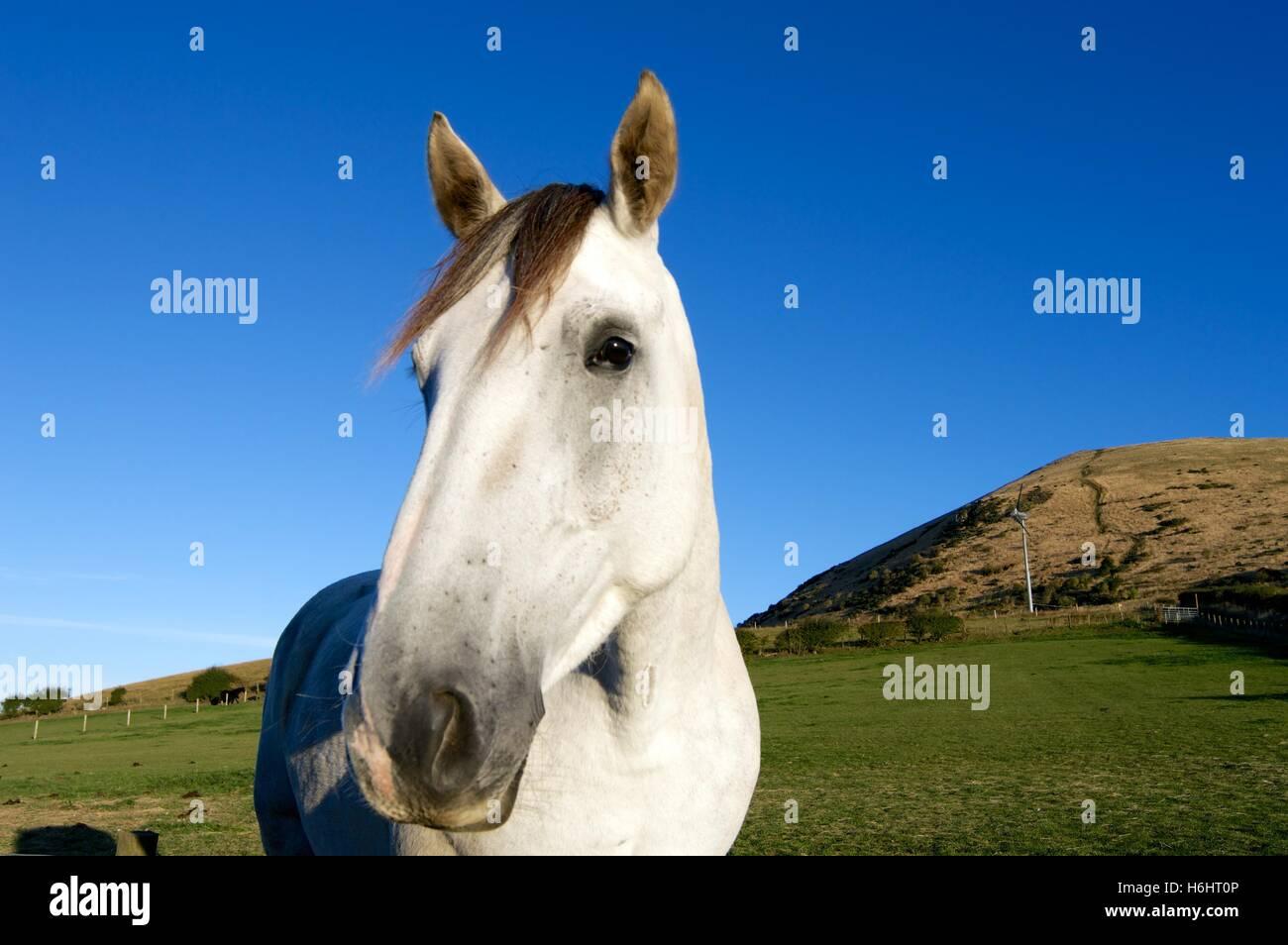 Beautiful white stallion horse hill at Largo Law Upper Largo Fife Scotland - Stock Image