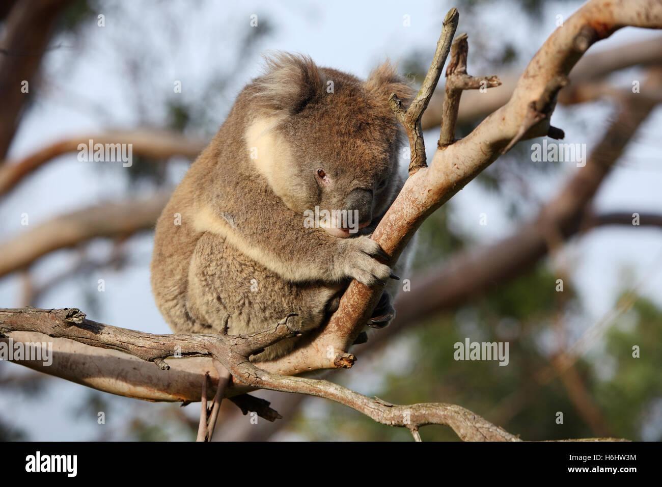 Koala in a gumtree. Great Otway National Park, Victoria, Australia. - Stock Image