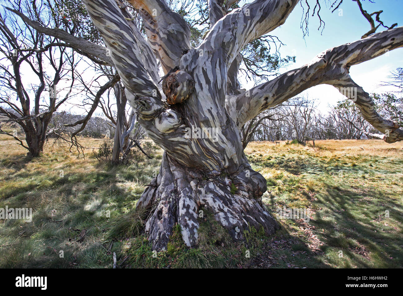 Old snow gum in the Australian Alps. Victorian High Country, Australia. - Stock Image