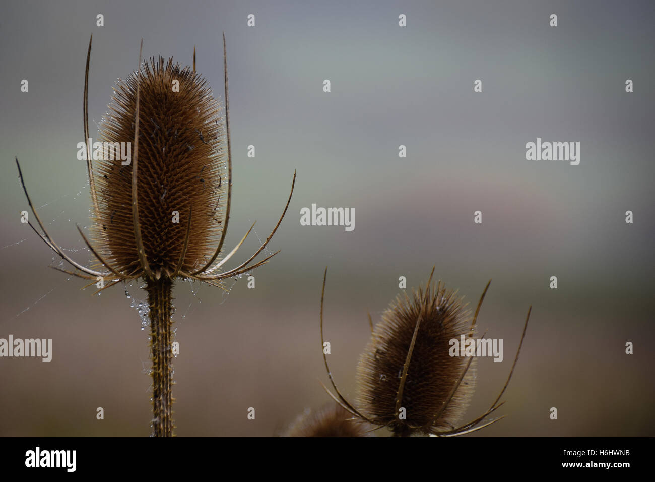 Autumnal dried teasel seed flower heads, - Stock Image