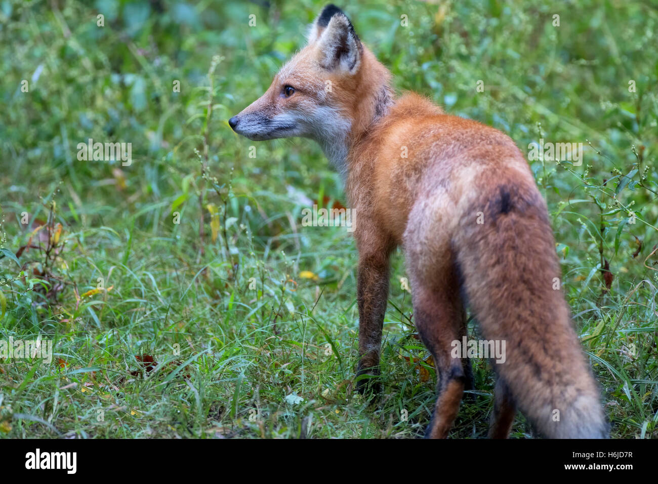 Bright Face the red fox in the weeds riparian - Stock Image