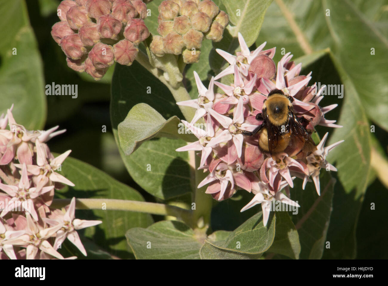 Close Up of a Honey Bee Collecting Nectar from Pink Flowers of a Common Milkweed Plant - Stock Image