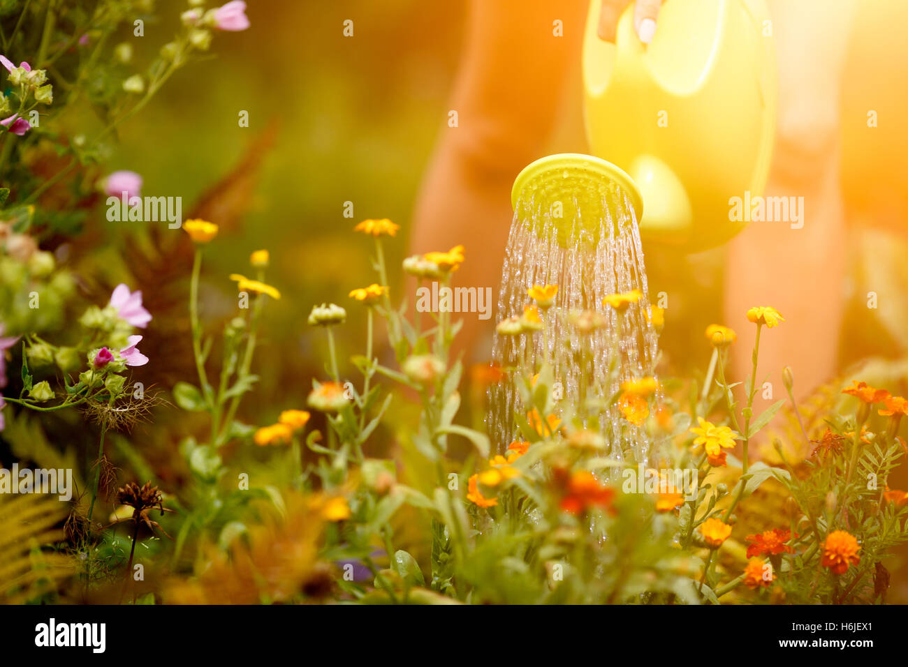 Female hand watering flowers outdoors - Stock Image