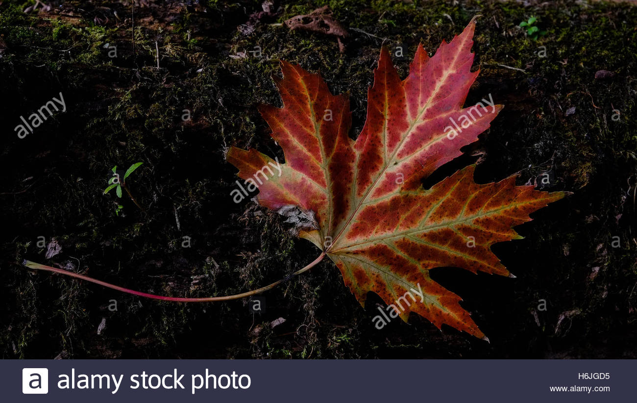 Single Canadian maple leaf sitting on the forest floor. Red and Yellow. Earthy - Stock Image