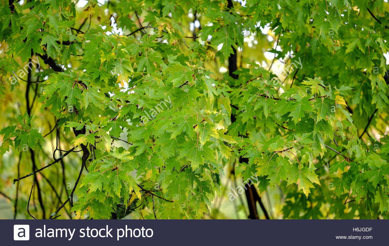 Tight shot of Green and Yellow Canadian maple leaves found in a local park. The frame is fillled with leaves. Fall - Stock Image