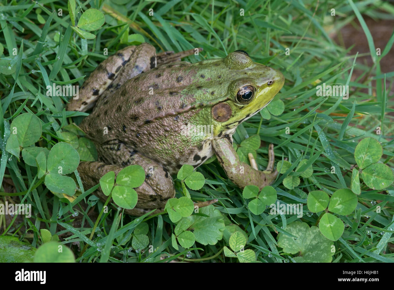 Green Frog Rana clamitans sitting in grass and clover, Eastern USA - Stock Image