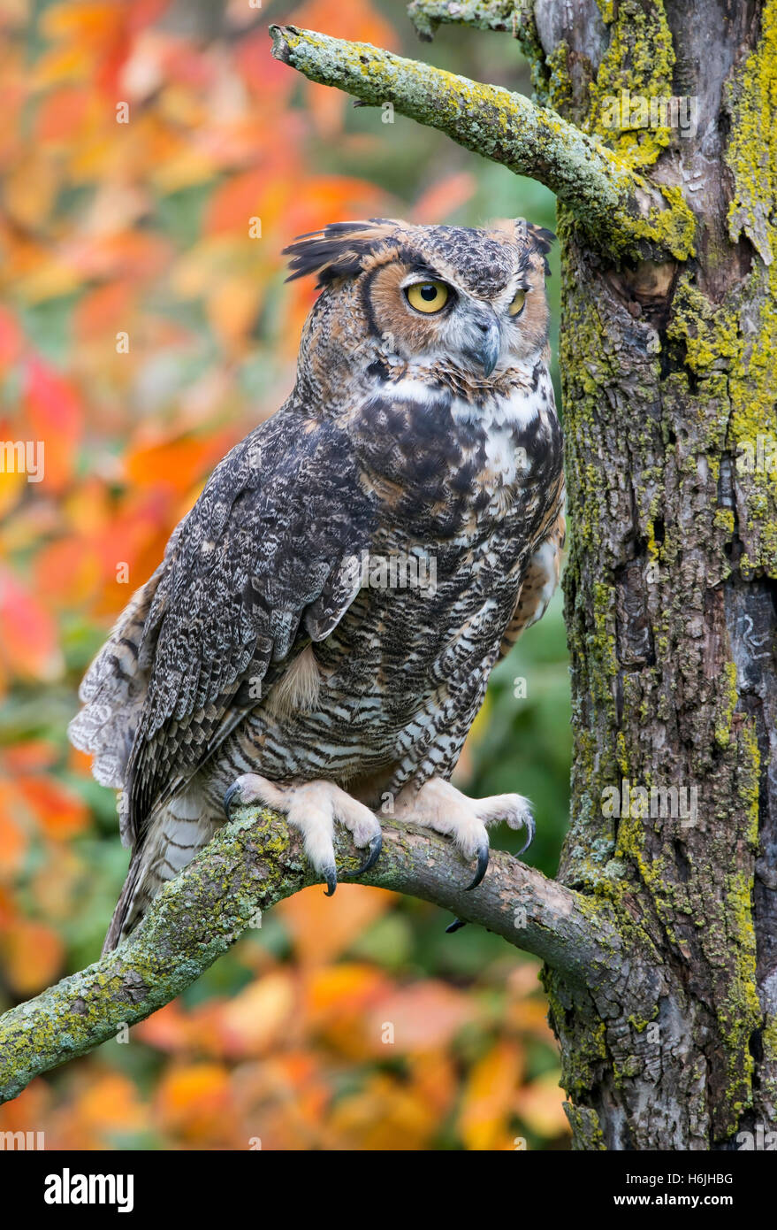 Great Horned Owl Bubo virginianus perched on tree limb, Autumn, Eastern North America - Stock Image