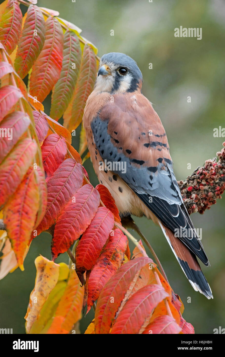 American Kestrel or Sparrow Hawk Falco sparverius, male, perched on Staghorn Sumac branch (Rhus typhina) Autumn, - Stock Image