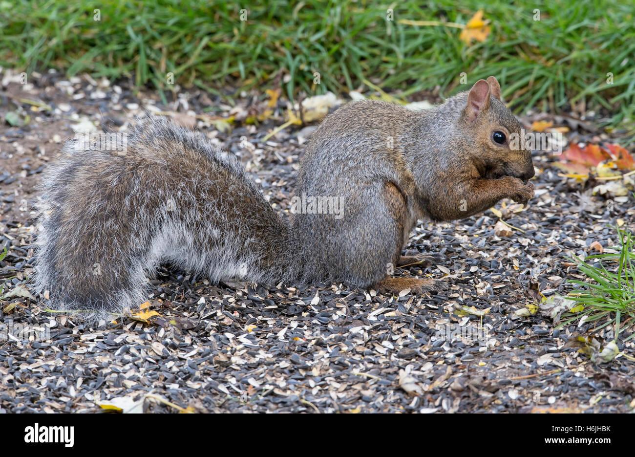 Eastern Fox Squirrel (Sciurus niger) eating bird seed on ground near feeder, Autumn, E North America - Stock Image