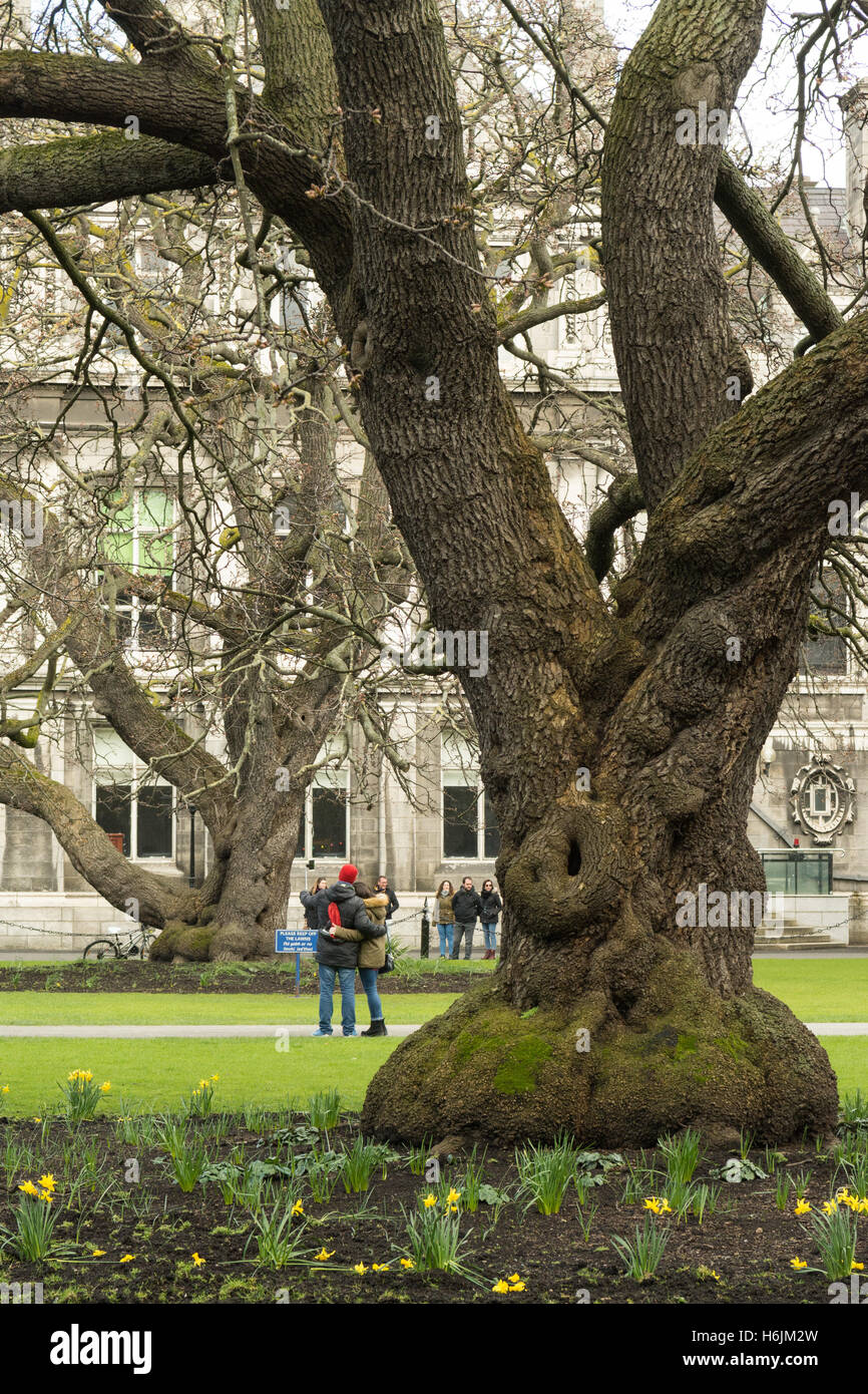 Oregon maple trees (Acer macrophyllum) planted c1830 at Trinity College Dublin, Ireland - Stock Image