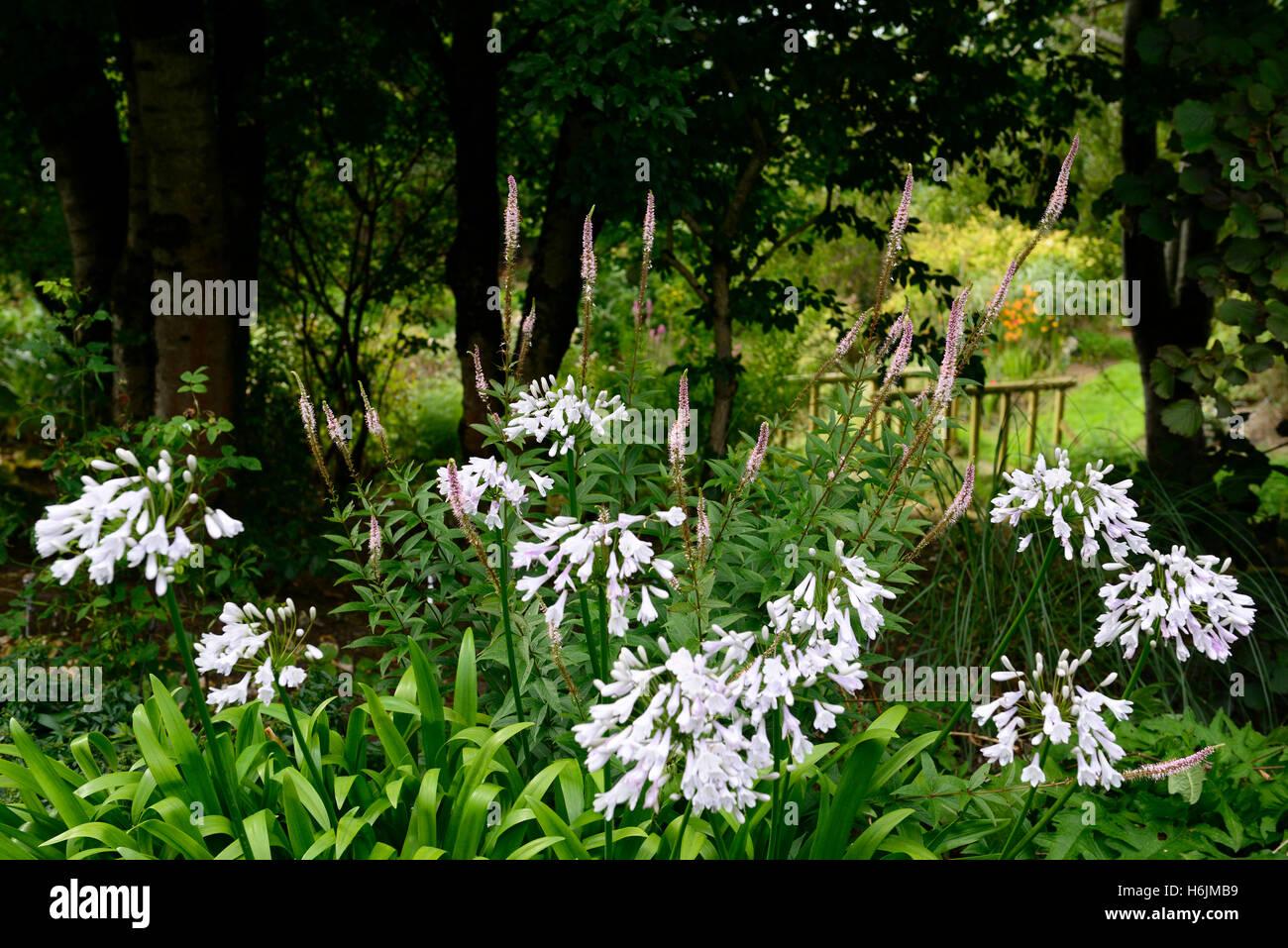 Agapanthus Windsor Grey Nile Lily White Flower Flowers Stock