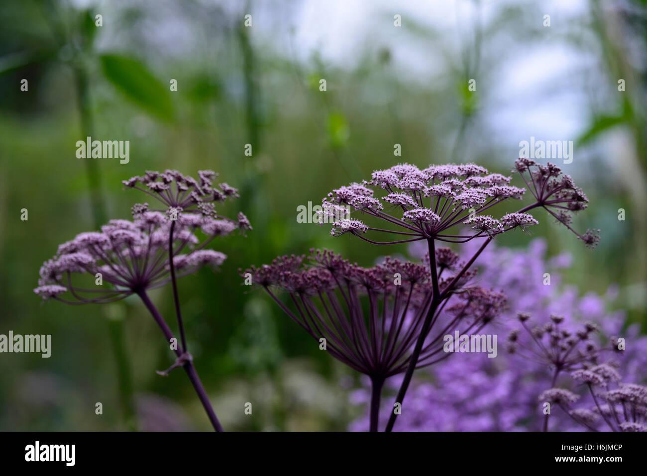 angelica sylvestris flower flowerhead floret florest floriferous blue aster background combination mix mixed RM - Stock Image