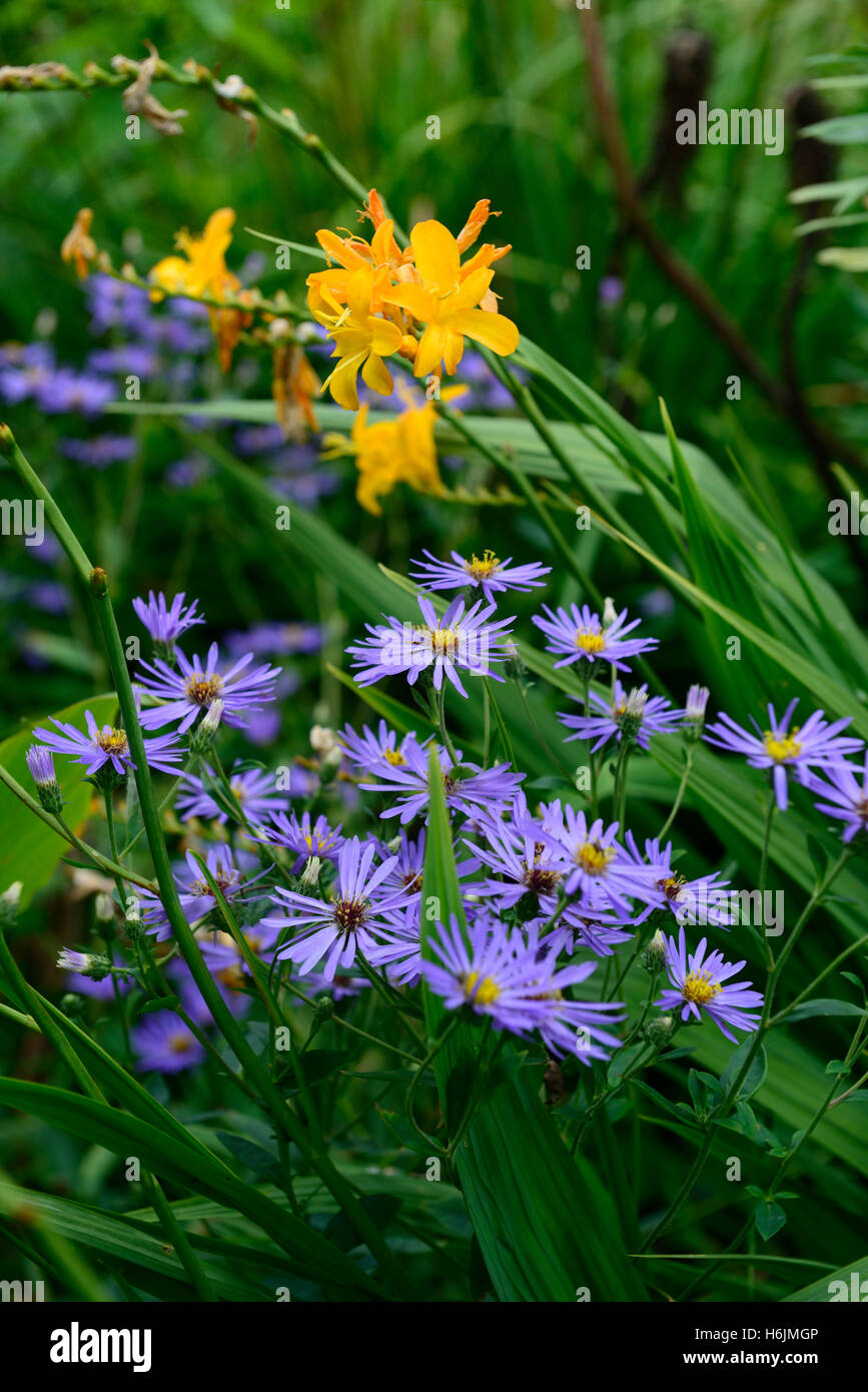 Crocosmia Pauls Best Aster Frikartii Monch Yellow Blue Flower Stock
