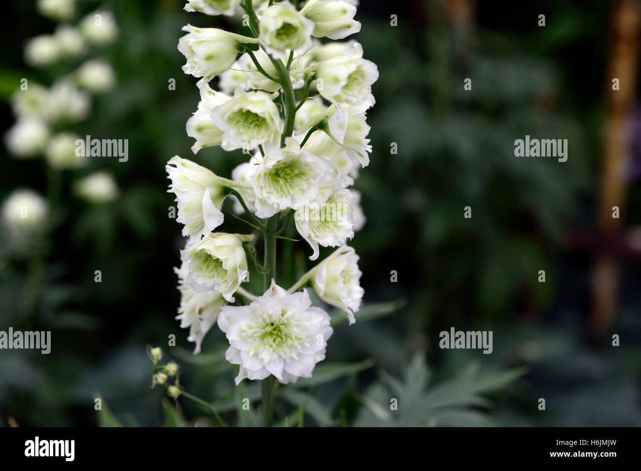 Delphinium highlander morning sunrise white flower flowers flowering delphinium highlander morning sunrise white flower flowers flowering spike spires spikes tall perennial rm floral mightylinksfo