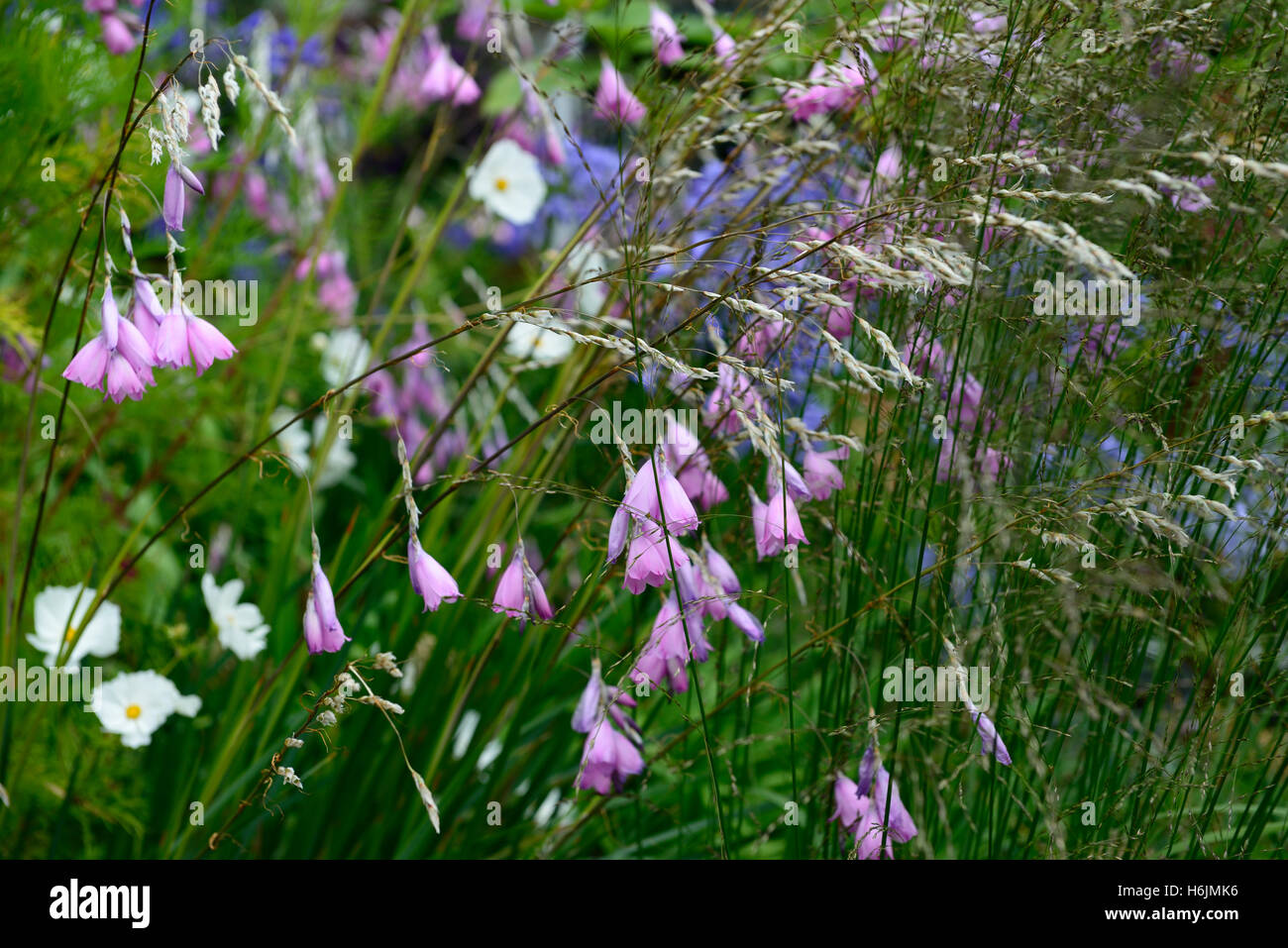 Dierama pulcherrimum closeup pink purple petals flowers perennials dierama pulcherrimum closeup pink purple petals flowers perennials arching dangling hanging bell shaped angels fishing rods mightylinksfo