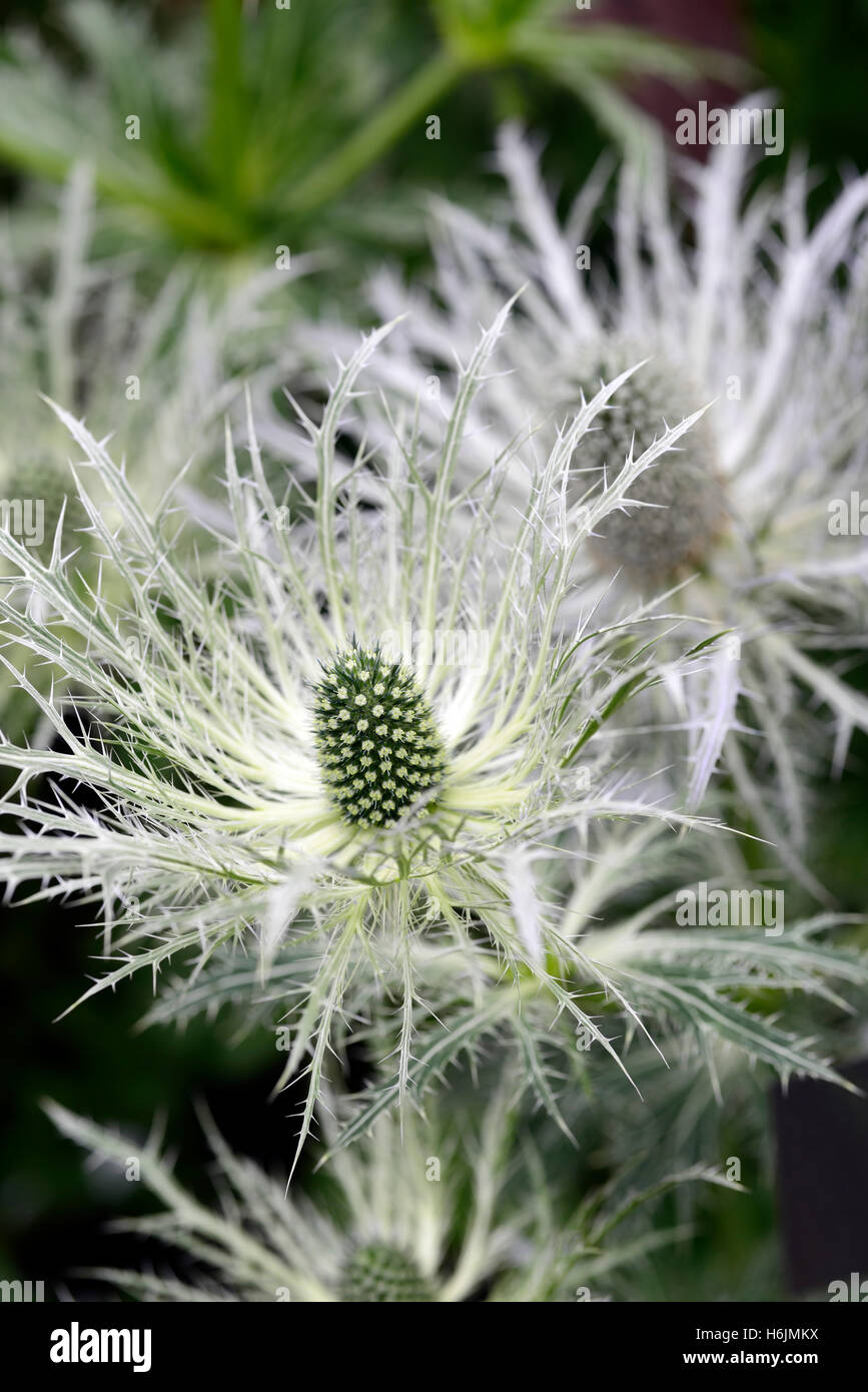 White Eryngium Stock Photos White Eryngium Stock Images Alamy