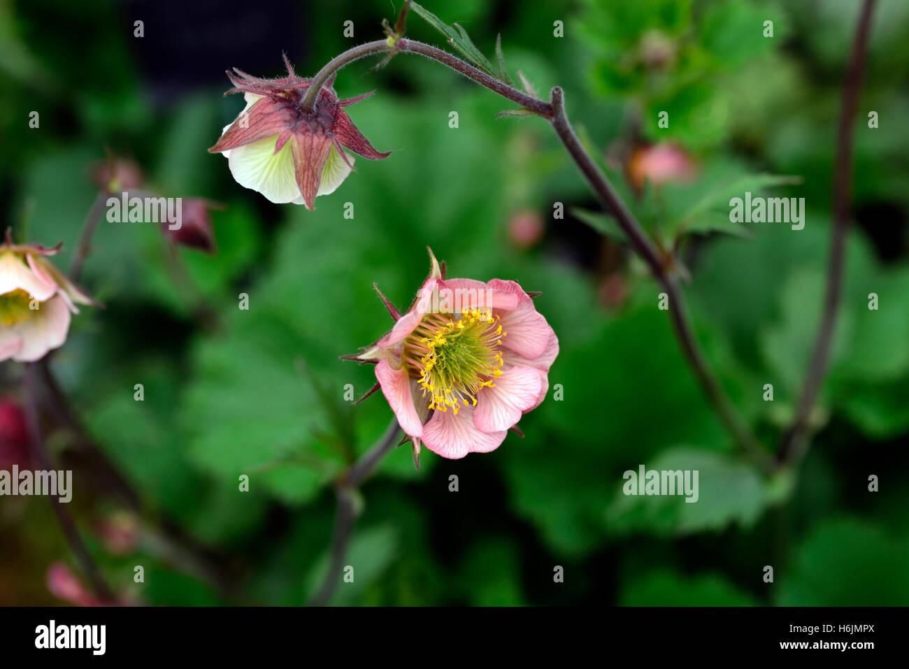 Geum flower stock photos geum flower stock images alamy geum bell bank avens pink geums flowers flower flowering perennial rm floral stock image mightylinksfo