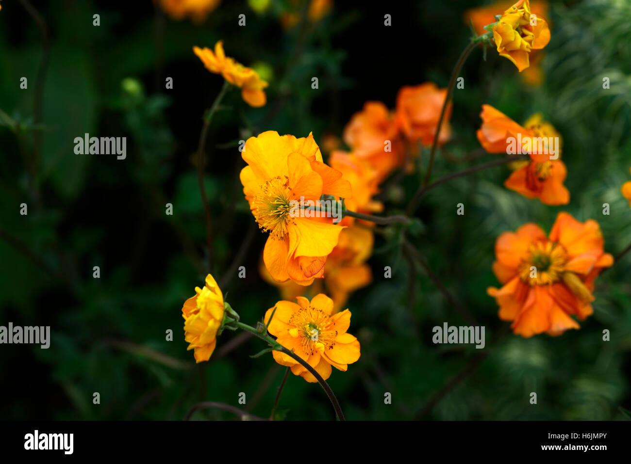 Geum Firestorm Avens Orange Geums Flowers Flower Flowering Perennial