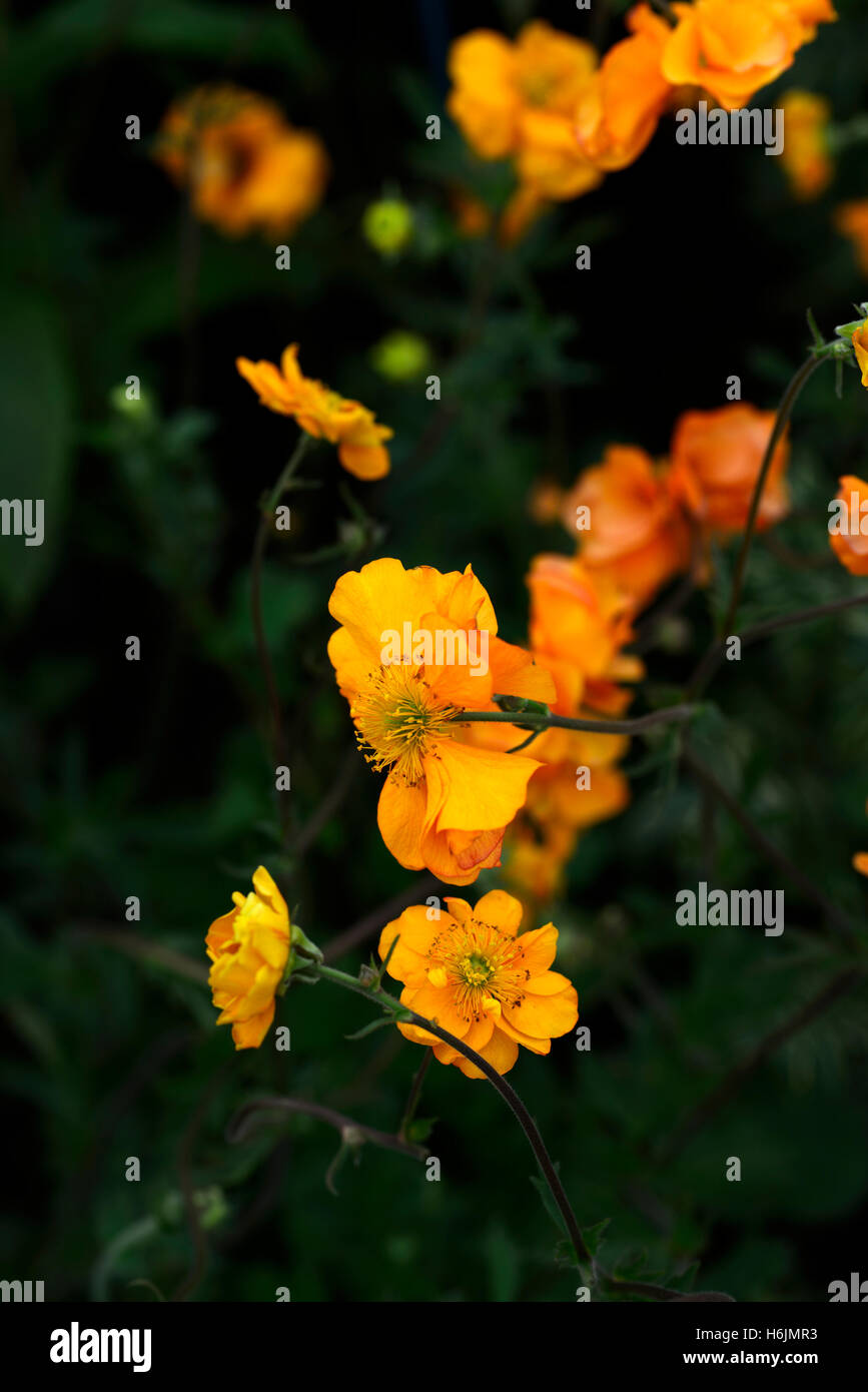 Orange geum flowering stock photos orange geum flowering stock geum firestorm avens orange geums flowers flower flowering perennial rm floral stock image mightylinksfo