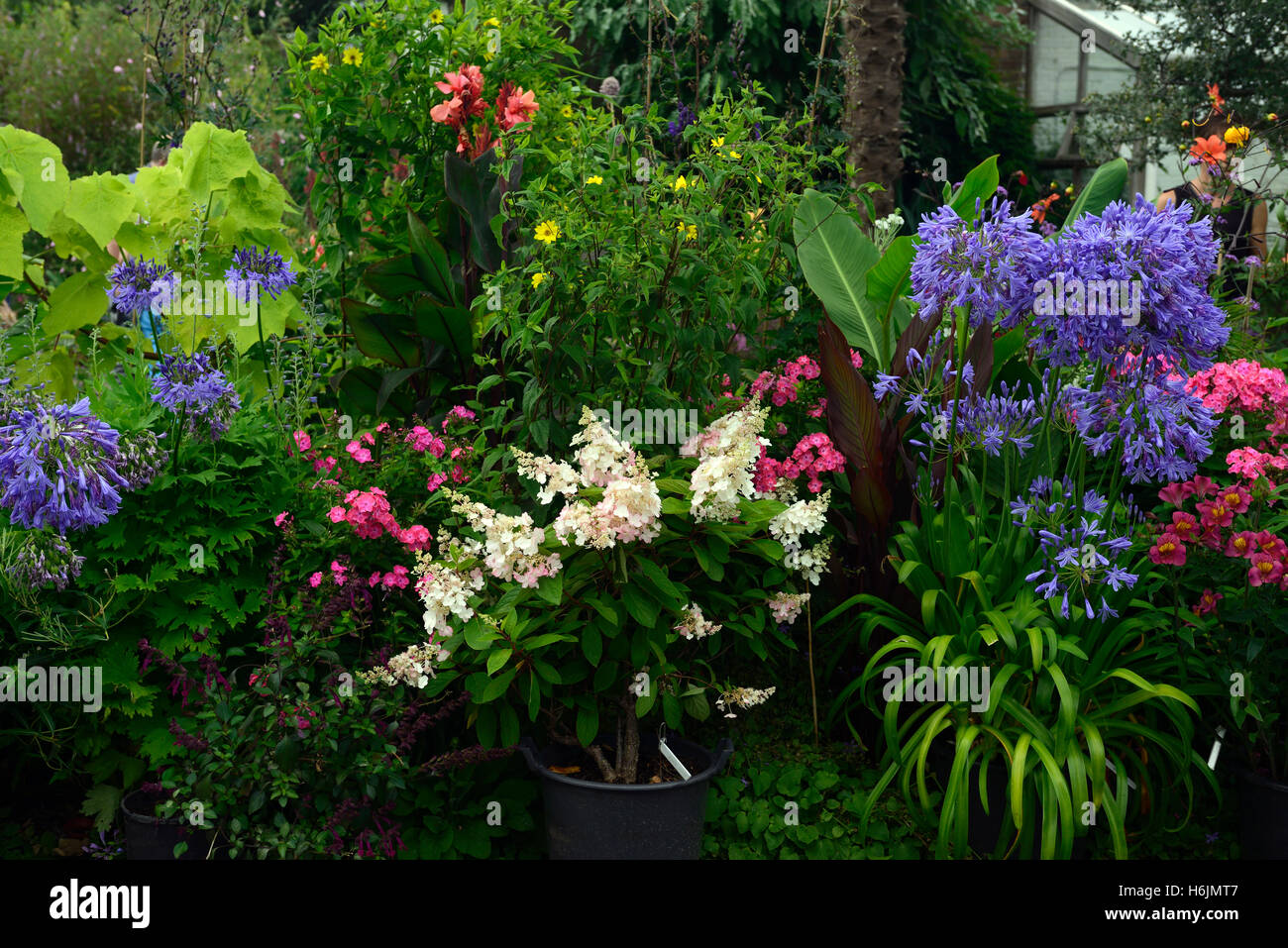 hydrangea pinky winky agapanthus alstroemeria white pink blue flowers flower flowering mix mixed planting scheme - Stock Image
