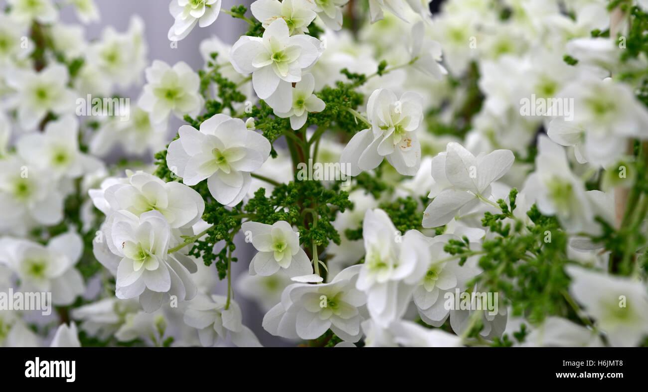hydrangea quercifolia snowflake white Oakleaf Hydrangeas flowers flower flowering RM floral - Stock Image