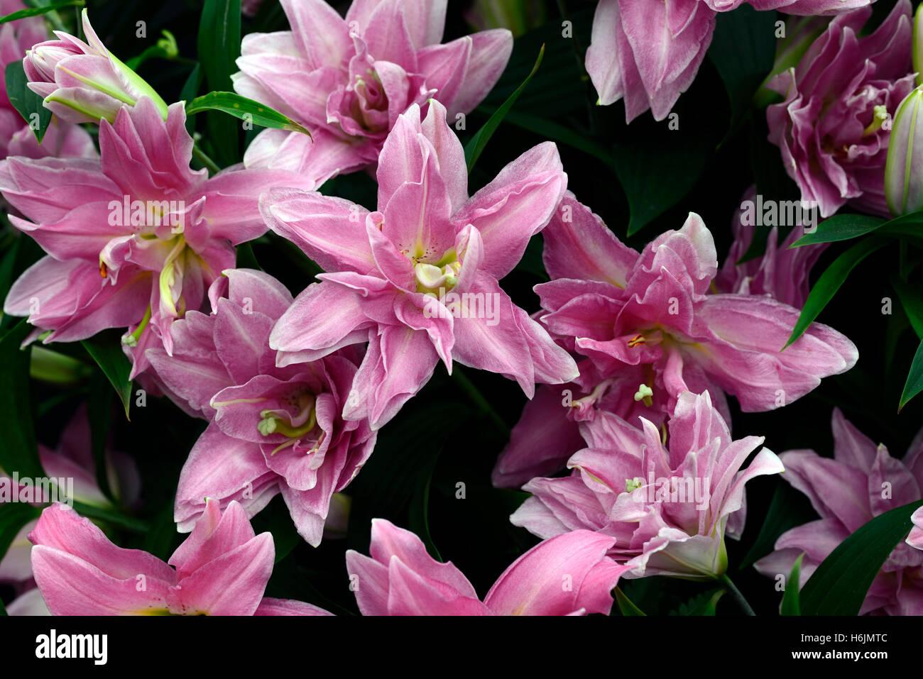 Lilium double surprise pink flower flowers scent scented fragrant lilium double surprise pink flower flowers scent scented fragrant oriental trumpet hybrids orienpet ot rm floral mightylinksfo