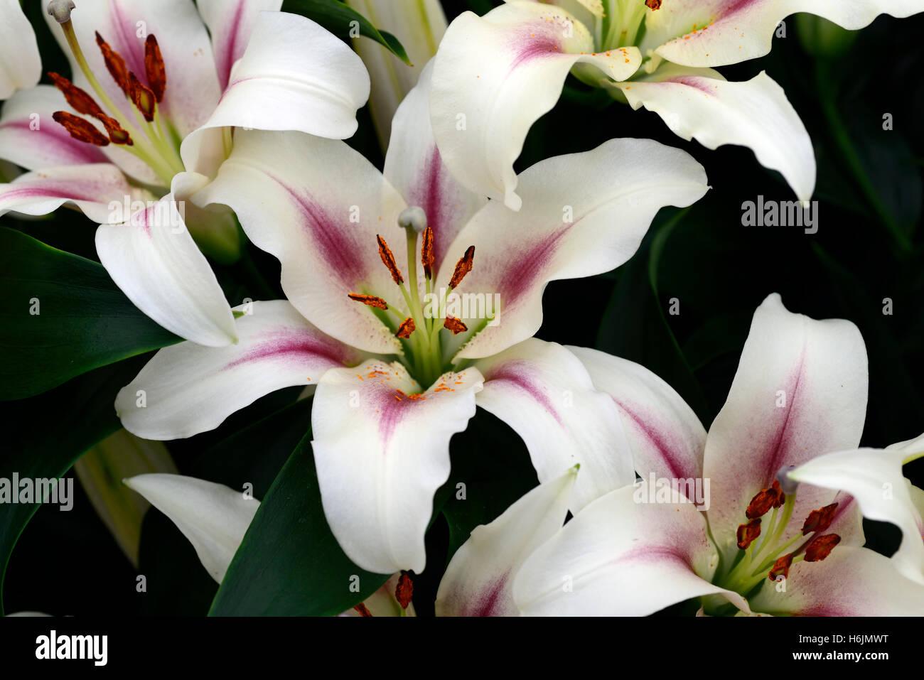 Lilium Pink Lilies Stock Photos Lilium Pink Lilies Stock Images