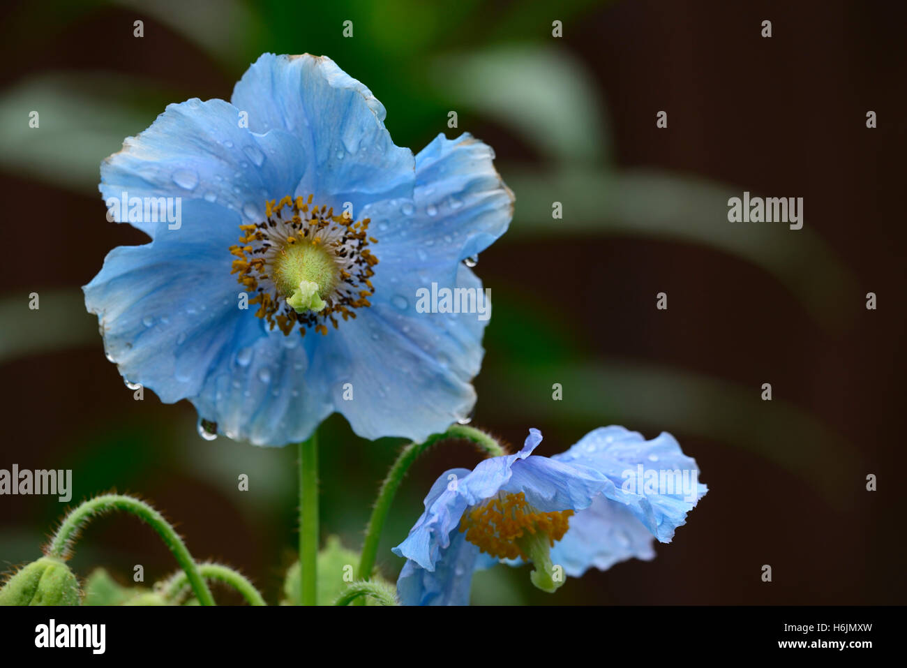 Meconopsis betonicifolia blue poppy Himalayan poppies flower flowers RM Floral shade shady shaded garden RM Floral - Stock Image