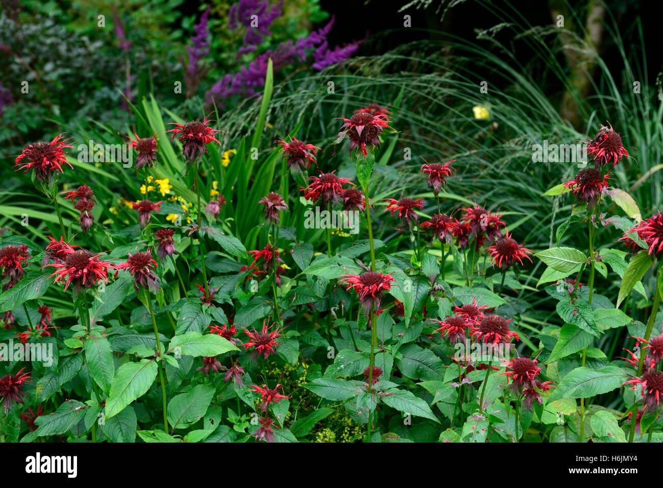 monarda didyma adam Bee Balm bergamot red scarlet flowers flower flowering perennial perennials RM Floral - Stock Image