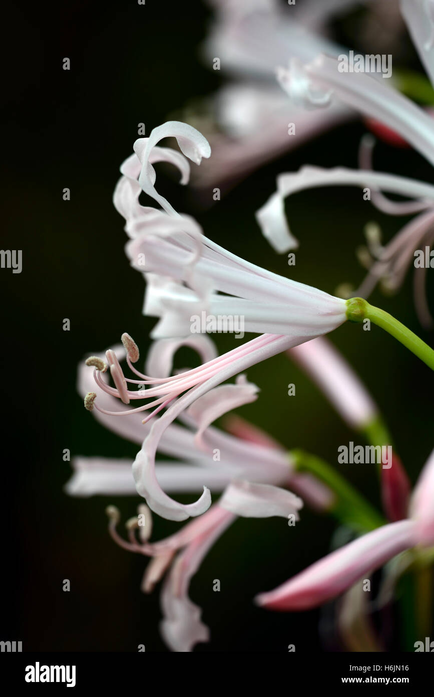 nerine bowdenii Nikita pale pink nerines closeup plant portraits bulbs autumn autumnal flowers petals RM Floral - Stock Image