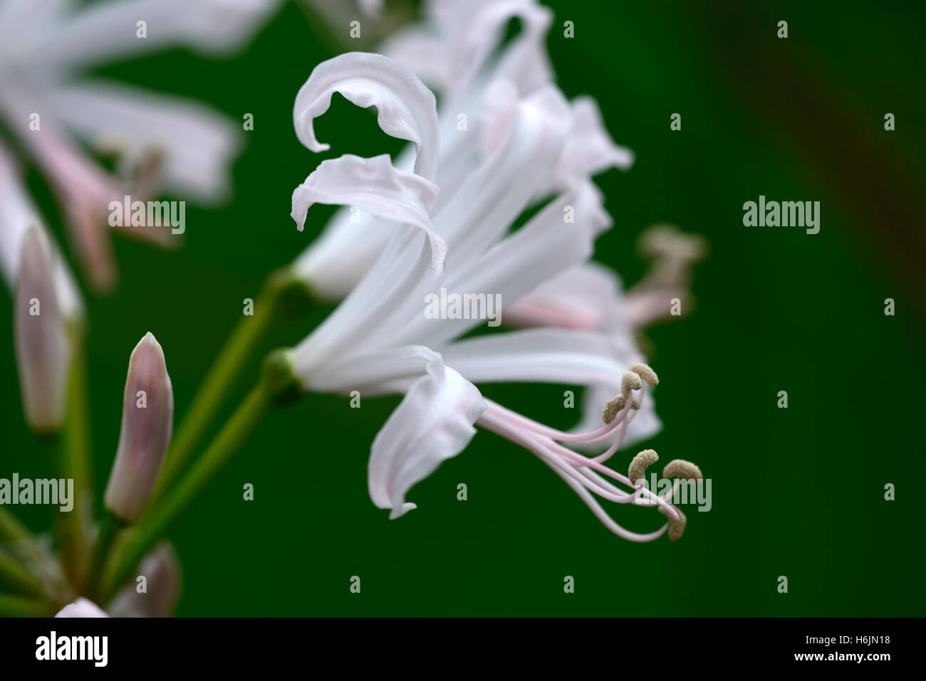 nerine bowdenii Ostara pale pink nerines closeup plant portraits bulbs autumn autumnal flowers petals RM Floral - Stock Image