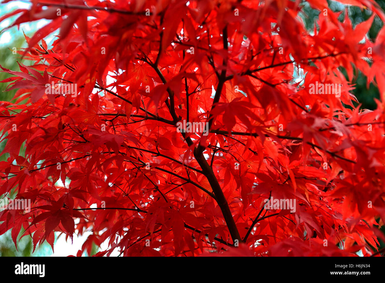 Acer Palmatum Osakazuki Japanese Maple Red Leaves Autumn Autumnal
