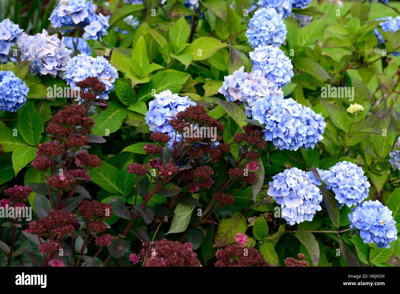 Sedum telephium jennifer blue mophead hydrangea purple flower sedum telephium jennifer blue mophead hydrangea purple flower flowers flowering combination garden gardens rm floral altavistaventures Image collections