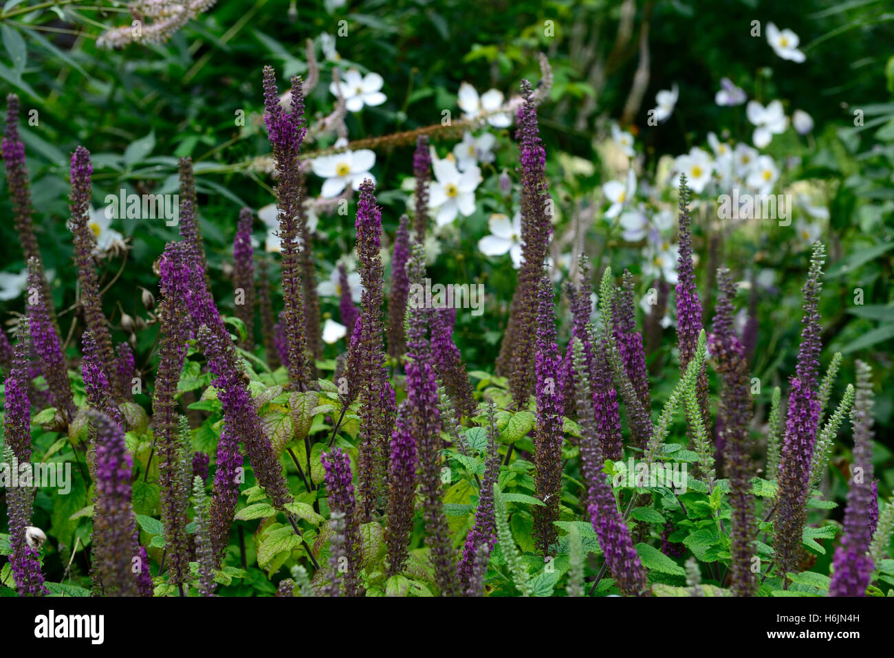 teucrium hircanicum purple tails Germander Wood Sage spires perennials fragrant scented spikes tall RM Floral - Stock Image