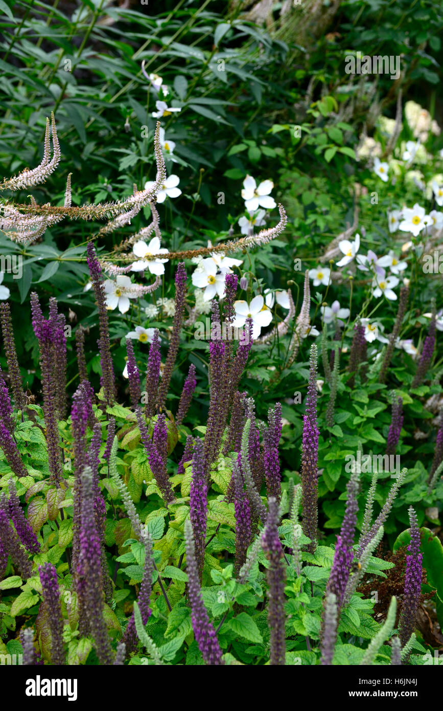teucrium hircanicum purple tails Germander Wood Sage spires perennials fragrant scented spikes tall white anemone - Stock Image