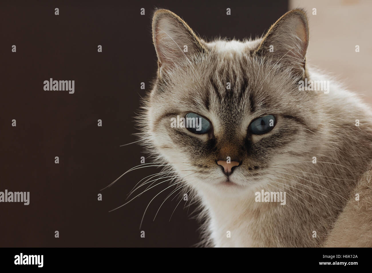 Domestic cat lookinf straight in camera selective focus - Stock Image