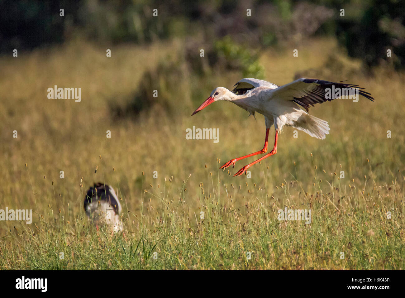 """White Stork Ciconia ciconia or European Stork,flying in to land in grassland, Laikipia Kenya Africa """"East Africa"""" Stock Photo"""