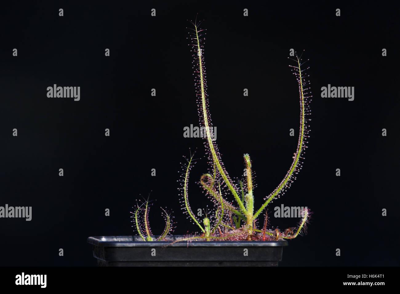 Drosera indica Sundew from Jacky Jacky Northern Queensland Australia - Stock Image
