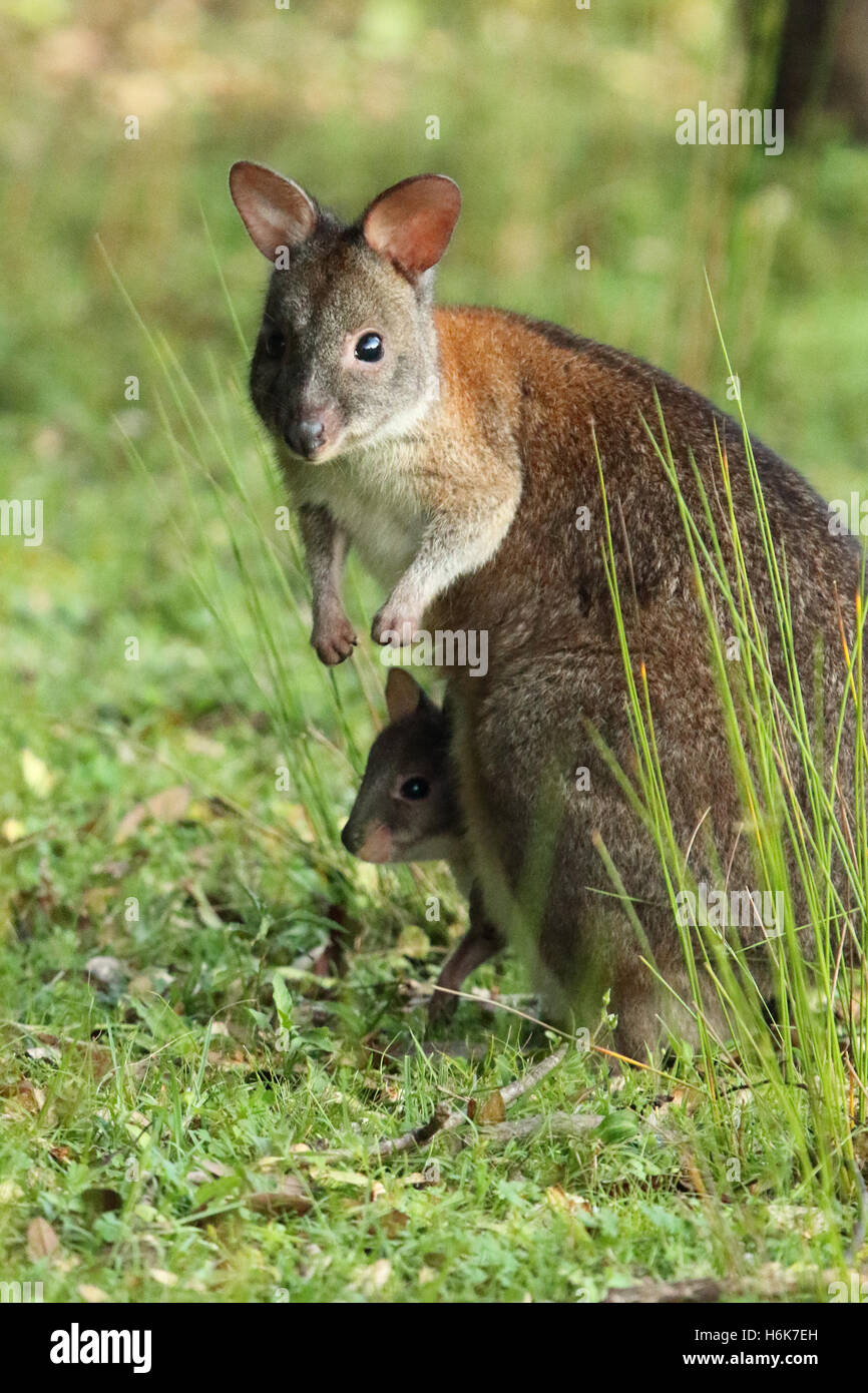 A mother Pademelon looking up with her baby in her pouch in Lamington National Park. - Stock Image