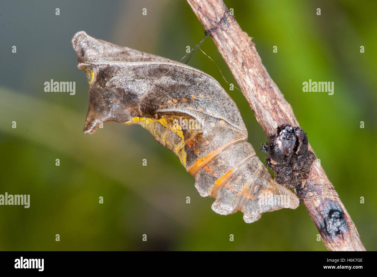 Polydamas Swallowtail   Battus polydamas    Gomez Farias, Mexico 26 January 2004       Pupa just before adult emerged. - Stock Image