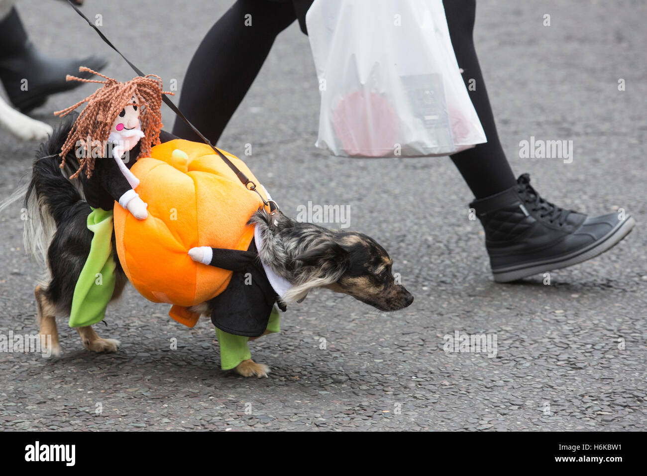 london, uk. 30 october 2016. dogs in spooky and scary halloween