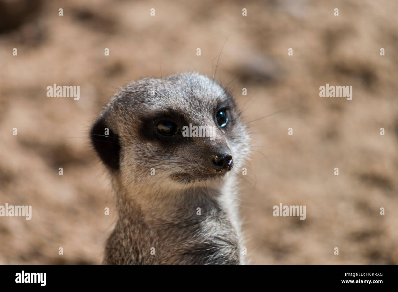 Meerkat - Suricata suricatta - Stock Image