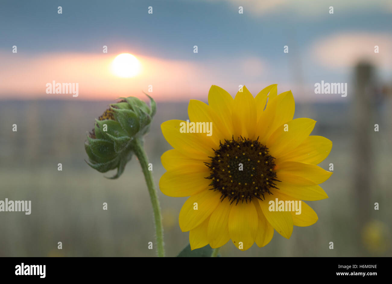 Close Up of a Prairie Sunflower and Bud with a Fence Post, Field and Sunrise in the Background - Stock Image