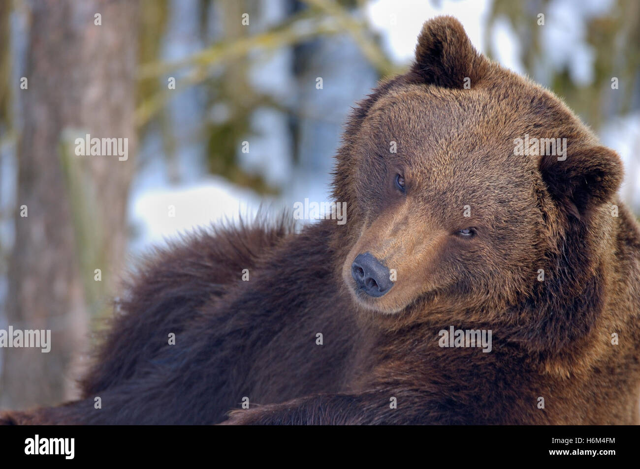 brown bear - Stock Image