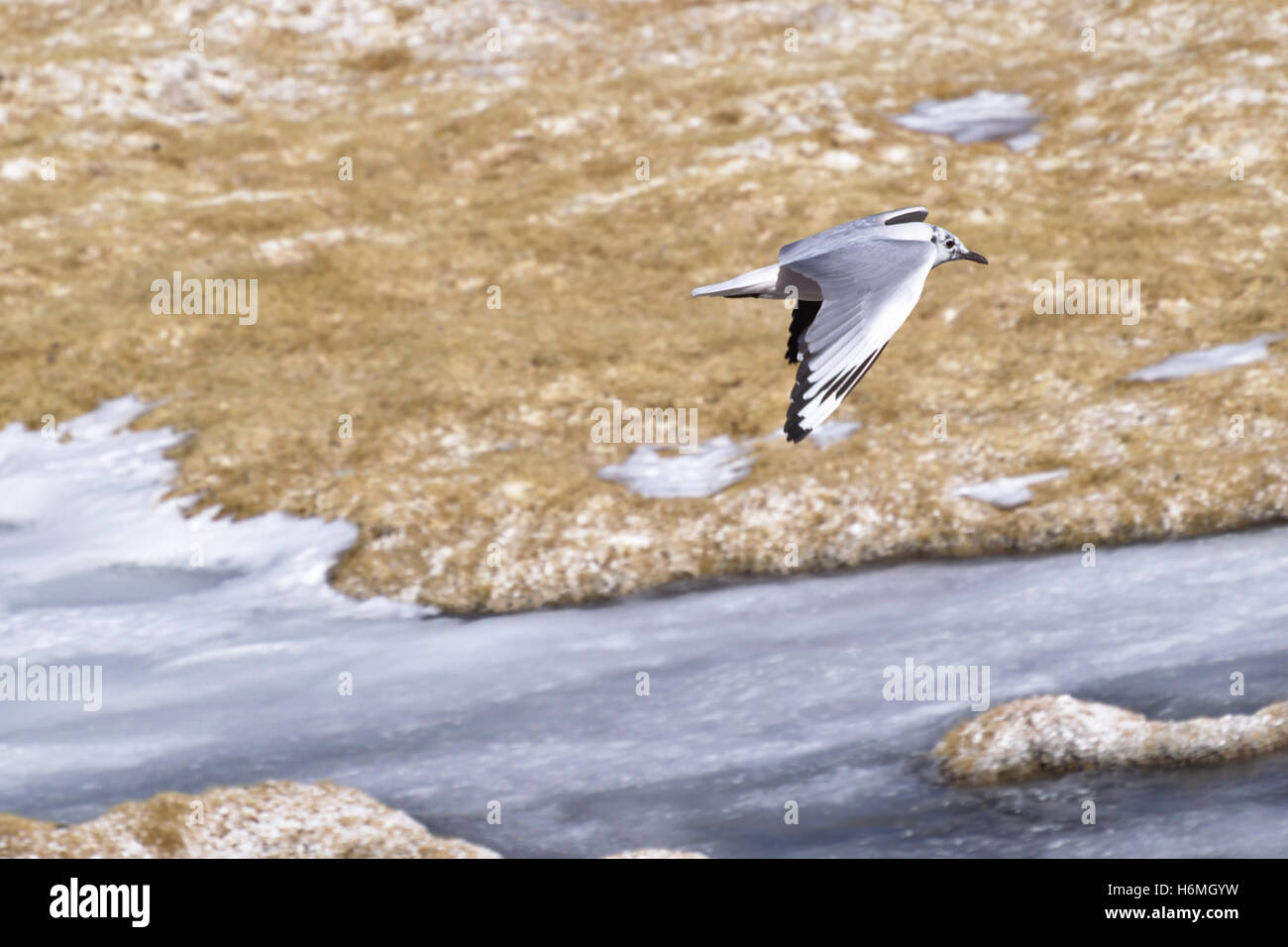 Andean gull (Chroicocephalus serranus) flying over an icy lake in Atacama desert, Chile. - Stock Image