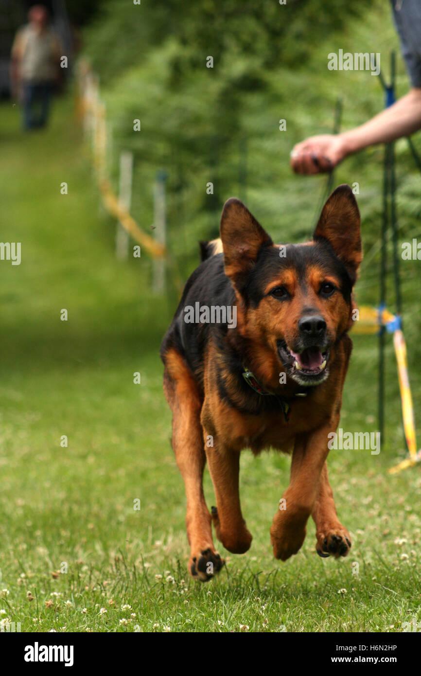 schaferhundmix the dog races - Stock Image