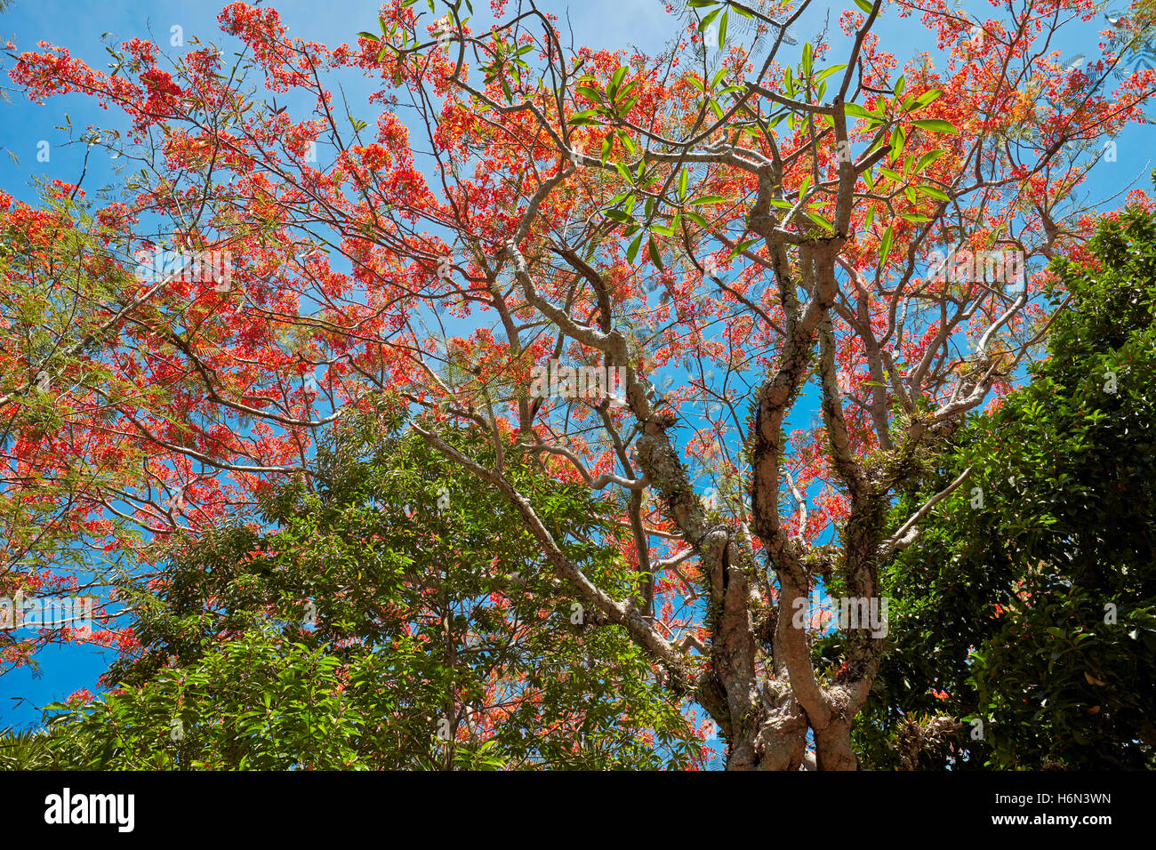 Royal Poinciana (Flame Tree) blossoming branches, Vietnam. Scientific name: Delonix regia. - Stock Image