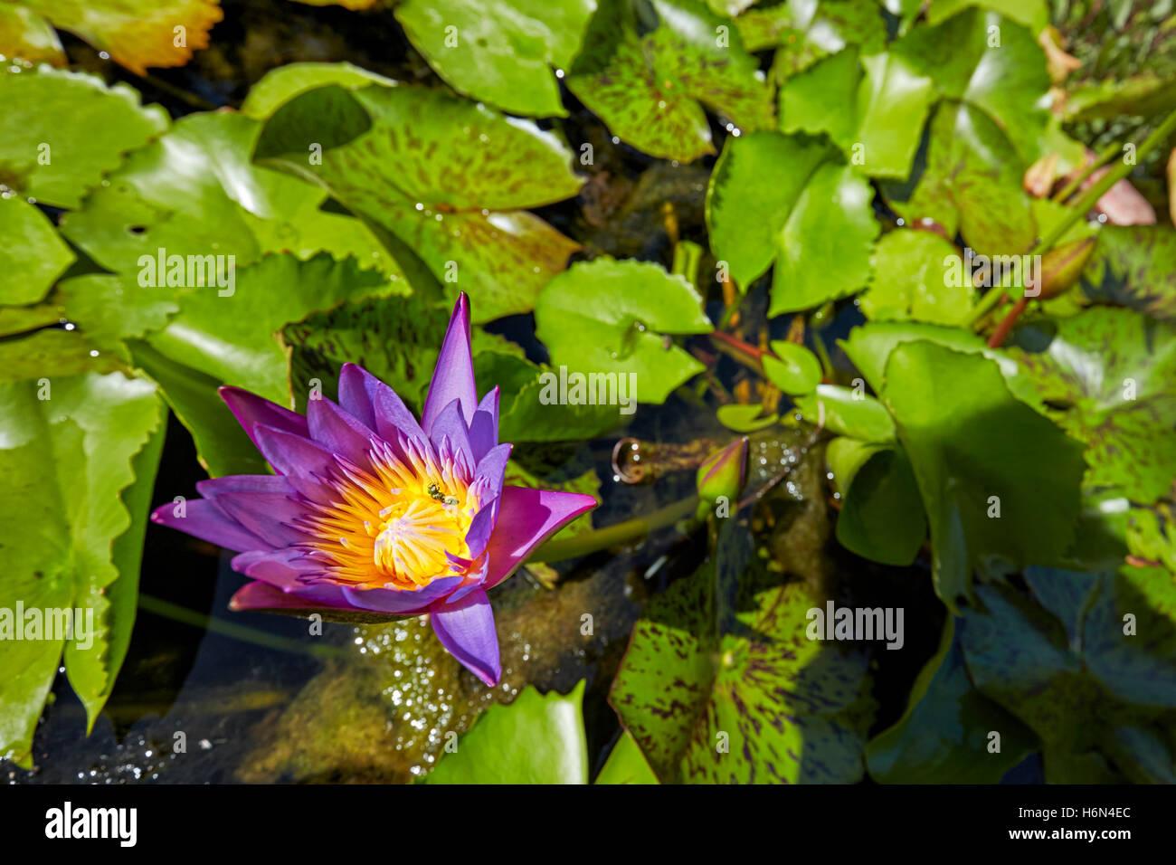 Blue star water lily flower vietnam scientific name nymphaea blue star water lily flower vietnam scientific name nymphaea nouchali mightylinksfo